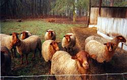 agneaux de nos brebis solognotes élevés sur l'exploitation de Cantelause